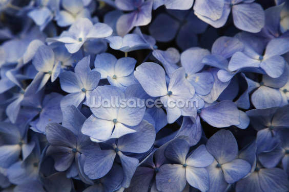 Hawaii, Maui, Hydrangea Flowers Wallpaper Wall Murals