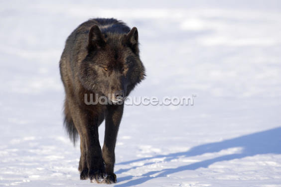 Black Wolf Walking In Snow Wallpaper Wall Murals