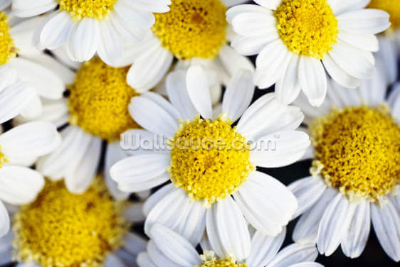 Summer Daisies - Cluster Of White Blossoms Wallpaper Wall Murals