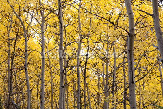 Autumn Scenic Of Colorful Yellow Aspen Trees Wallpaper Wall Murals