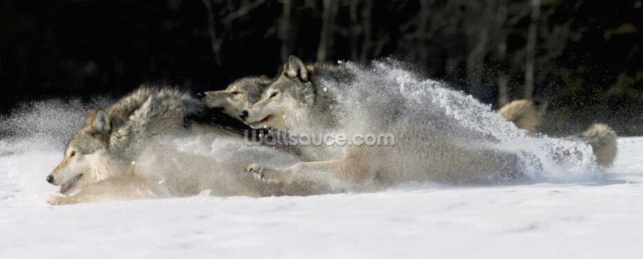 Pack Of Grey Wolves Running Through Deep Snow Wallpaper Wall Murals