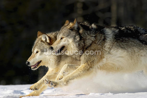 Pack Of Grey Wolves Running Through Deep Snow 2 Wallpaper Wall Murals