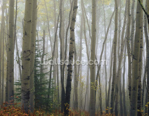 Foggy Aspen Forest Wallpaper Wall Murals