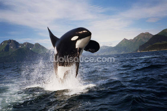 Orca Whale Breaching Kenai Peninsula Wallpaper Wall Murals
