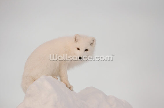Arctic Fox on Top of a Large Chunk of Ice Wallpaper Wall Murals