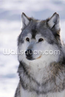Gray Wolf Winter Portrait Wallpaper Wall Murals