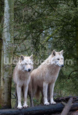 White Wolf Pair at the Woodland Park Zoo in Seattle Wallpaper Wall Murals