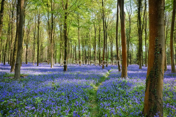 Bluebells in Wepham Woods Wallpaper Wall Murals