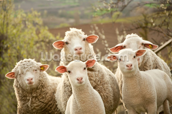 Sheep on Pasture Wallpaper Wall Murals
