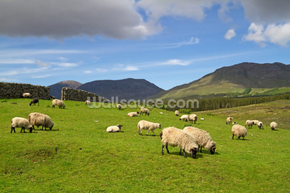 Sheep Grazing Wallpaper Wall Murals