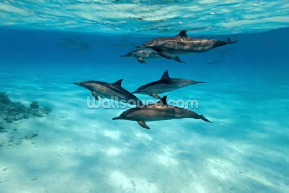 Dolphin Family Wallpaper Wall Murals