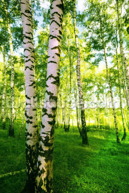 Birch Woodland Wallpaper Wall Murals