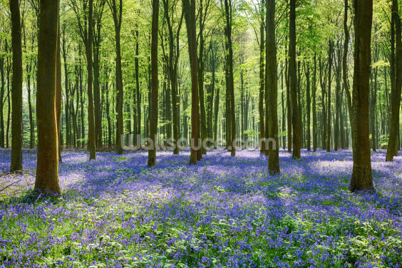 Bluebell Forest Wallpaper Wall Murals