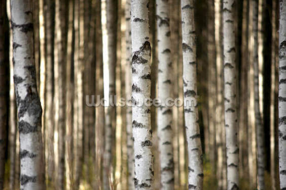 Birch Trees Wallpaper Wall Murals