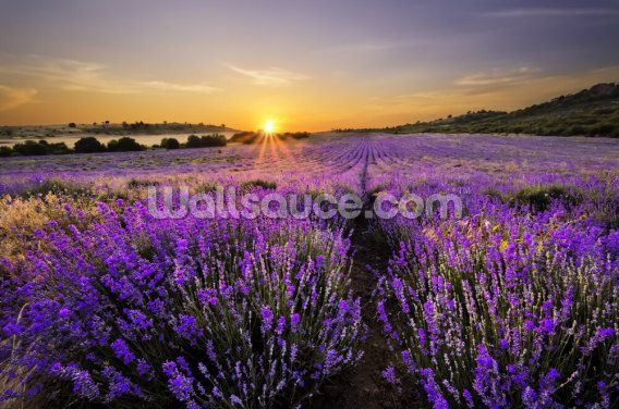 Sunset Over Lavender Field Wallpaper Wall Murals