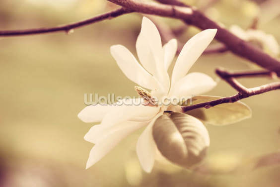 White Magnolia Blossom Wallpaper Wall Murals