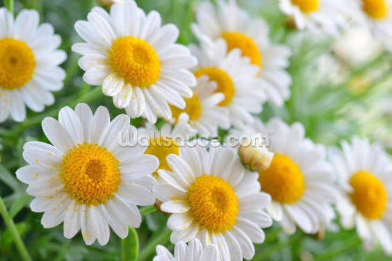 Daisy Fields Wallpaper Wall Murals