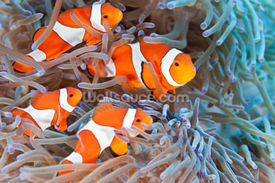 Clownfish Wallpaper Wall Murals