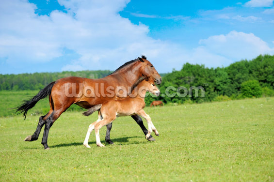 Horse and Foal Wallpaper Wall Murals