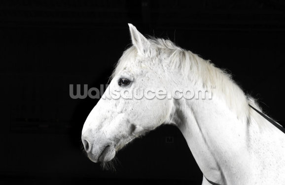 Handsome White Horse Wallpaper Wall Murals