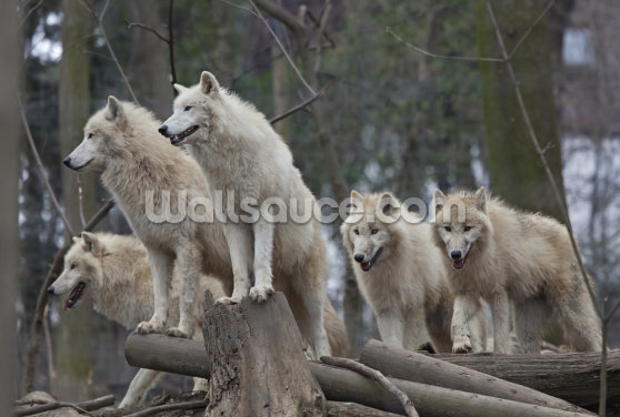 Arctic Wolves Wallpaper Wall Murals