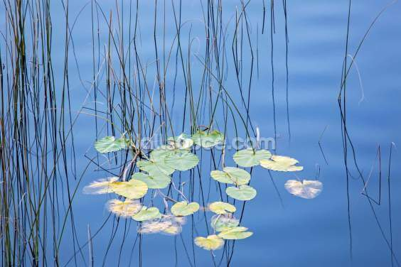 Reeds and Lily Pads Wallpaper Wall Murals