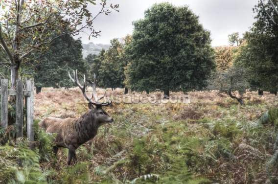 Richmond Park Stag Wallpaper Wall Murals