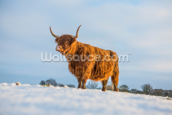 Highland Cow Wallpaper Wall Murals