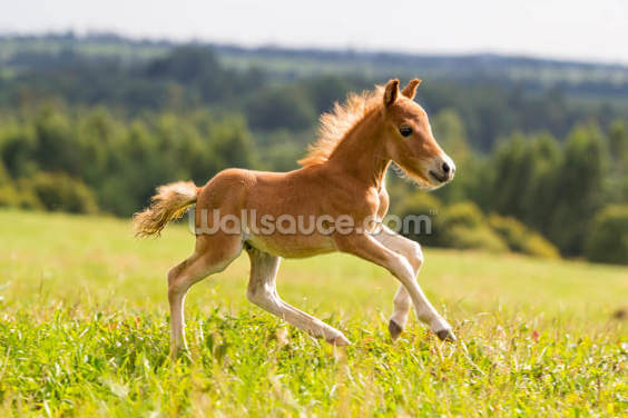 Foal Mini Horse Falabella Wallpaper Wall Murals