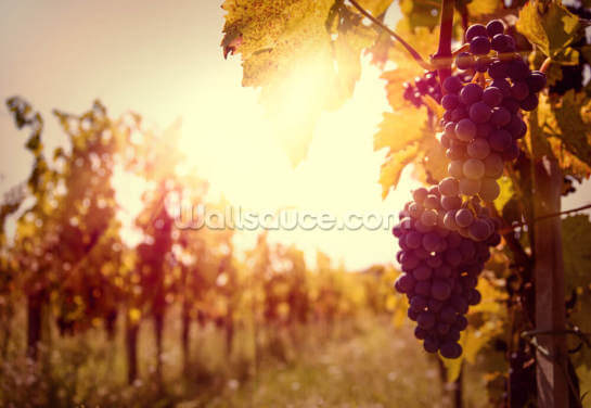 Sun-Drenched Vineyard Wallpaper Wall Murals