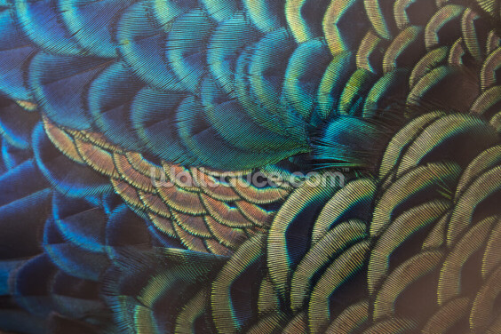 Green Peafowl Feathers Wallpaper Wall Murals