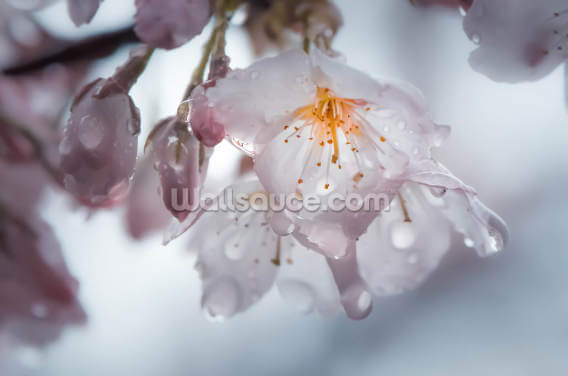 Raindrops on Cherry Blossom Wallpaper Wall Murals