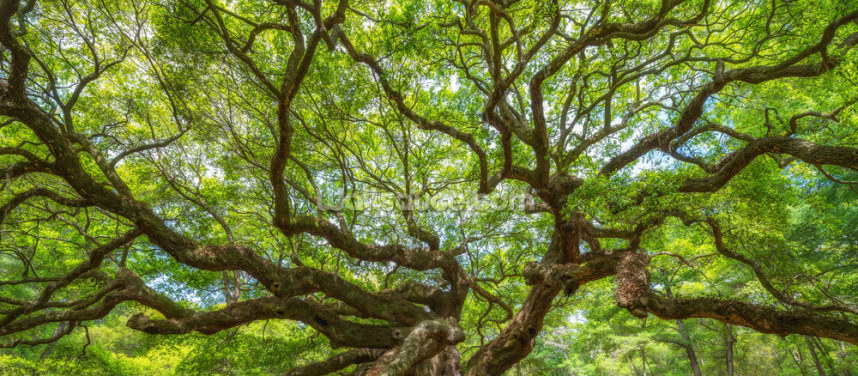 Angel Oak Tree Panoramic Wallpaper Wall Murals
