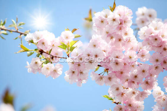 Blossom against a Blue Sky Wallpaper Wall Murals