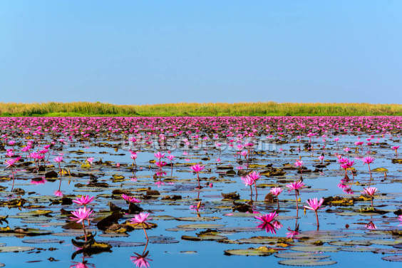 Sea of Pink Lotus 2 Wallpaper Wall Murals