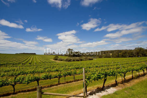 Vineyard View Wallpaper Wall Murals