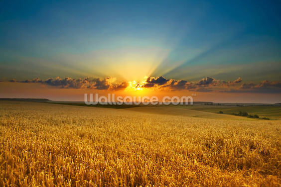 Golden Field Wallpaper Wall Murals