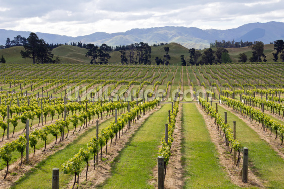 Marlborough Vineyards Wallpaper Wall Murals
