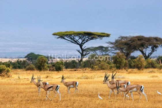 Grant's gazelles Wallpaper Wall Murals