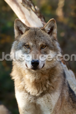 Grey Wolf Wallpaper Wall Murals