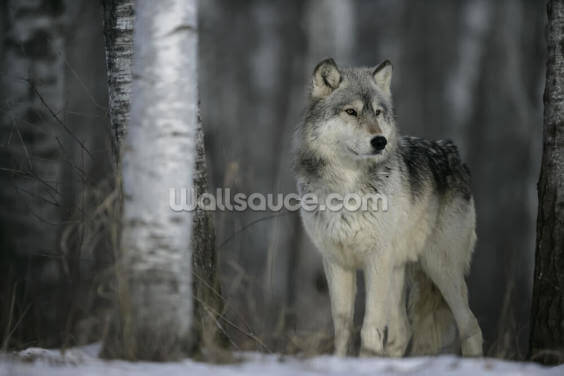 Grey Wolf Prowls Wallpaper Wall Murals