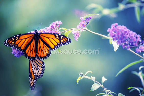 Butterfly on Lilac Flower Wallpaper Wall Murals