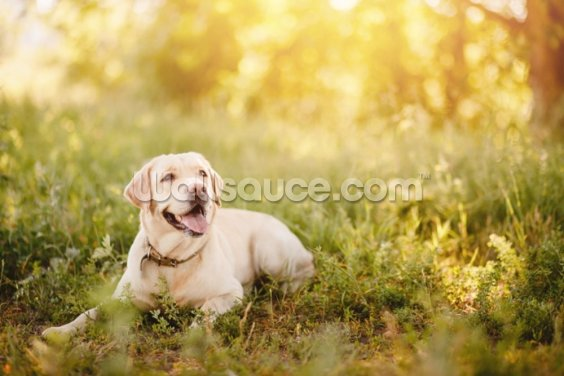 Labrador Smile Wallpaper Wall Murals
