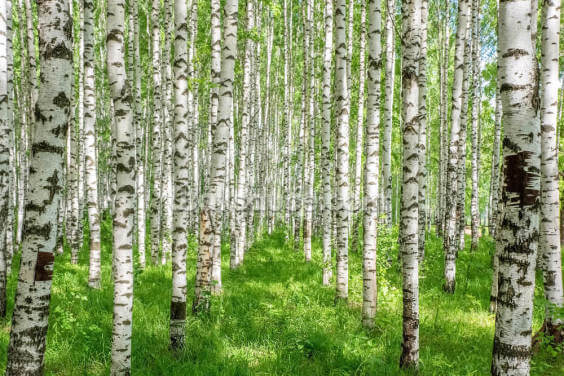 White Birch Trees Wallpaper Wall Murals