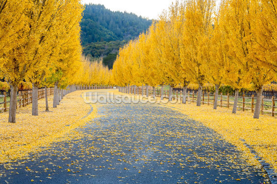 Yellow Ginkgo Trees Wallpaper Wall Murals