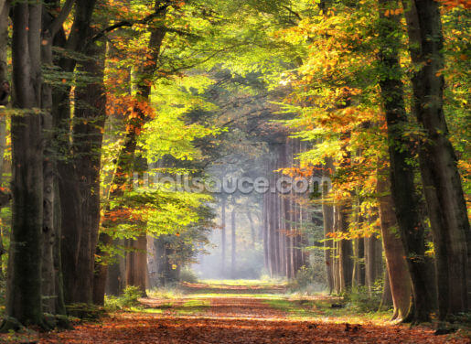 Glowing Avenue of Beech Trees Wallpaper Wall Murals