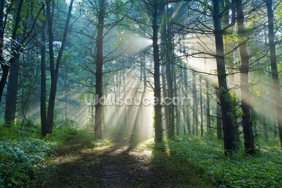 Morning Sunlight Forest Wallpaper Wall Murals