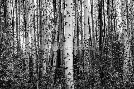 Monochrome Birch Trees Wallpaper Wall Murals