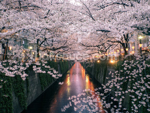 Sakura on Meguro River Wallpaper Wall Murals