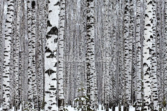 Silver Birch Wood Wallpaper Wall Murals
